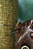 Brun Caligo Atreus fjäril Arkivfoton