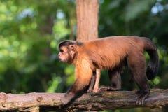 Brun capuchin Royaltyfri Foto