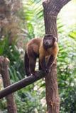 Brun capuchin, medan söka efter mat Arkivbilder