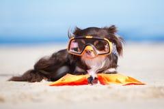 Brun chihuahuahund, i att snorkla maskeringen på en strand Royaltyfri Bild