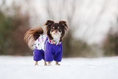 Brun chihuahuahund som utomhus går i vinter Arkivfoton