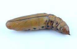 Brun chrysalis royaltyfri bild