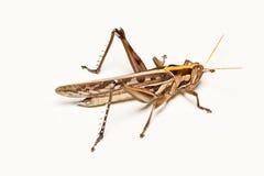 brun clean golvgräshoppa Royaltyfri Bild