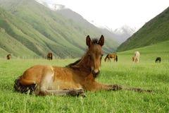 brun colt Fotografering för Bildbyråer