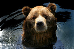 brun d'ours Images stock