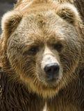 brun d'ours Photos libres de droits