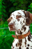 brun dalmatian som ser vit Royaltyfria Foton