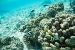 Brun Damselfish och Surgeonfish i havrev Arkivbilder