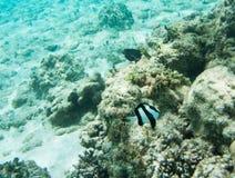 Brun Damselfish och Surgeonfish: Yejele strand Royaltyfri Bild