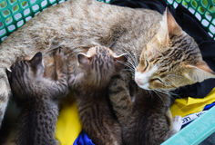 brun de couleur de chat de famille Photographie stock libre de droits