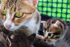 brun de couleur de chat de famille Photographie stock