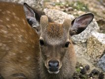 brun doe Arkivfoto