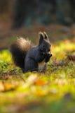 Brun ekorre med hasselnöten på gräs arkivbild