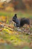 Brun ekorre med hasselnöten på gräs fotografering för bildbyråer