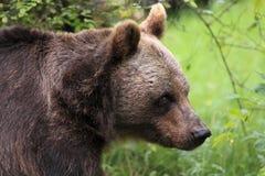 brun european för björn Arkivbild