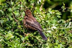 Brun fågel i buske Arkivbilder
