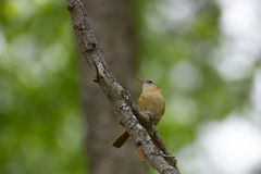 brun fågel little Royaltyfri Foto