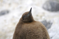 brun fågelungekonungpingvin royaltyfria foton