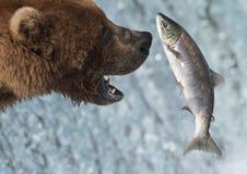 brun fångande lax för alaskabo björn arkivfoto