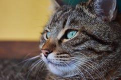 brun förälskelse för katthjärtaillustration Fotografering för Bildbyråer