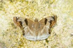 Brun fjäril (den kastanjebruna vinkel-, Odontoptillum angulatumen) Arkivbild