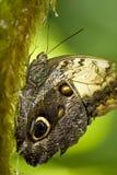 brun fjäril för filial Arkivfoton