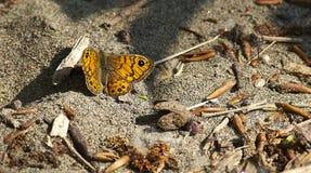 Brun fjäril för vägg (den Lasiommata maeraen) Arkivbilder