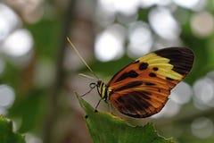 Brun fjäril för vit i trät Royaltyfri Foto