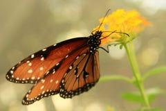 brun fjäril isolerad white Fotografering för Bildbyråer