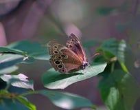 brun fjäril isolerad white Arkivfoton