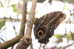 brun fjäril isolerad white Arkivbild
