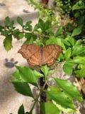 brun fjäril isolerad white Arkivfoto