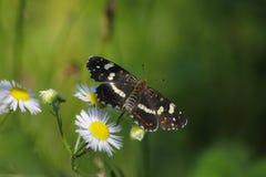 brun fjäril isolerad white Arkivbilder