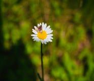 Brun fjäril på en blomma för vit tusensköna fotografering för bildbyråer