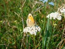 Brun fjäril på en växt Arkivfoton