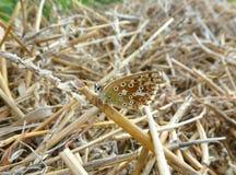 Brun fjäril på ett fält Arkivbild