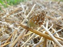 Brun fjäril på ettfält Royaltyfri Fotografi