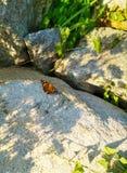 Brun fjäril som sitter på en sten royaltyfri fotografi