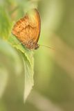brun fjärilsäng Arkivbild