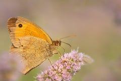 brun fjärilsäng Royaltyfria Bilder