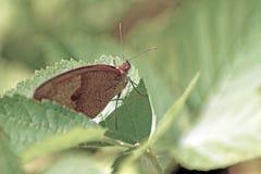 brun fjärilsleaf Royaltyfria Bilder