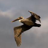 brun flygflorida pelikan Royaltyfri Fotografi