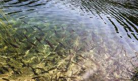 Brun forell i sjöarna royaltyfri fotografi