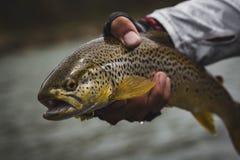 Brun forell som Flyfishing royaltyfri fotografi