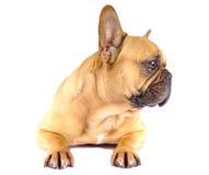 Brun fransk bulldogg Arkivfoto