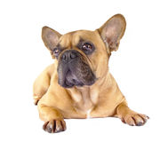 Brun fransk bulldogg Royaltyfri Bild