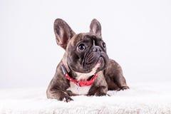 Brun fransk bulldogg i den liggande positionen som ser bästa royaltyfria foton