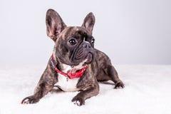 Brun fransk bulldogg i den liggande positionen som ser höger arkivfoto