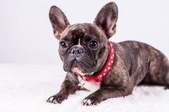 Brun fransk bulldogg i liggande position royaltyfria foton