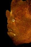 brun frogfish Fotografering för Bildbyråer